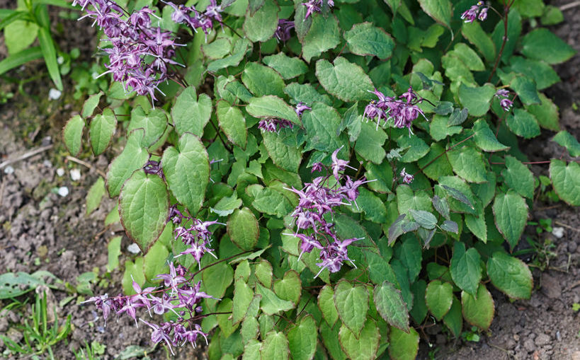 purple barrenwort (epimedium) flourishing in the garden